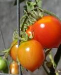 Principe Borghese tomatoes.