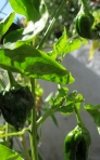 Poblano peppers.