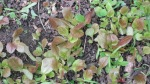 photo of lettuce seedlings