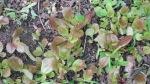 photo of lettuce seedlings